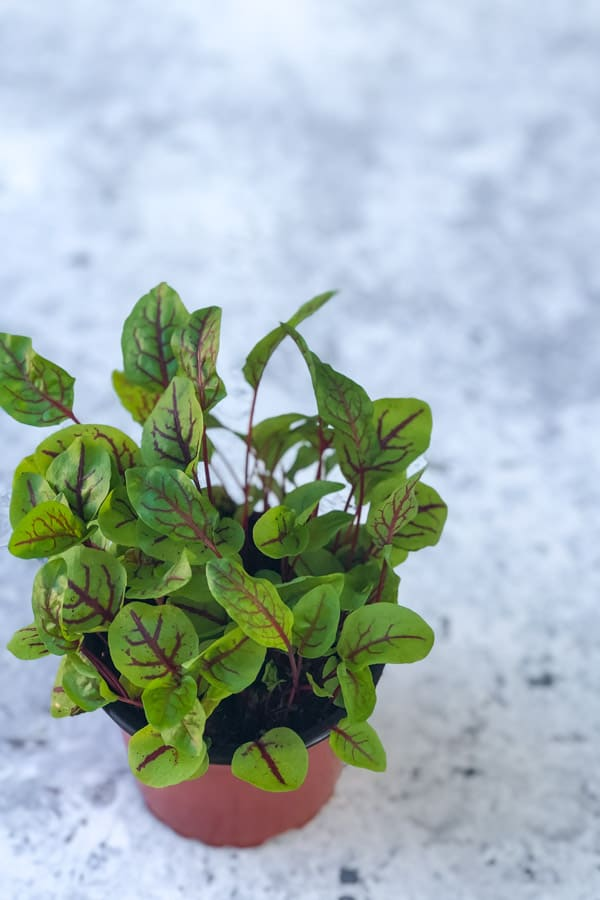 Red sorrel micro herbs in a pot