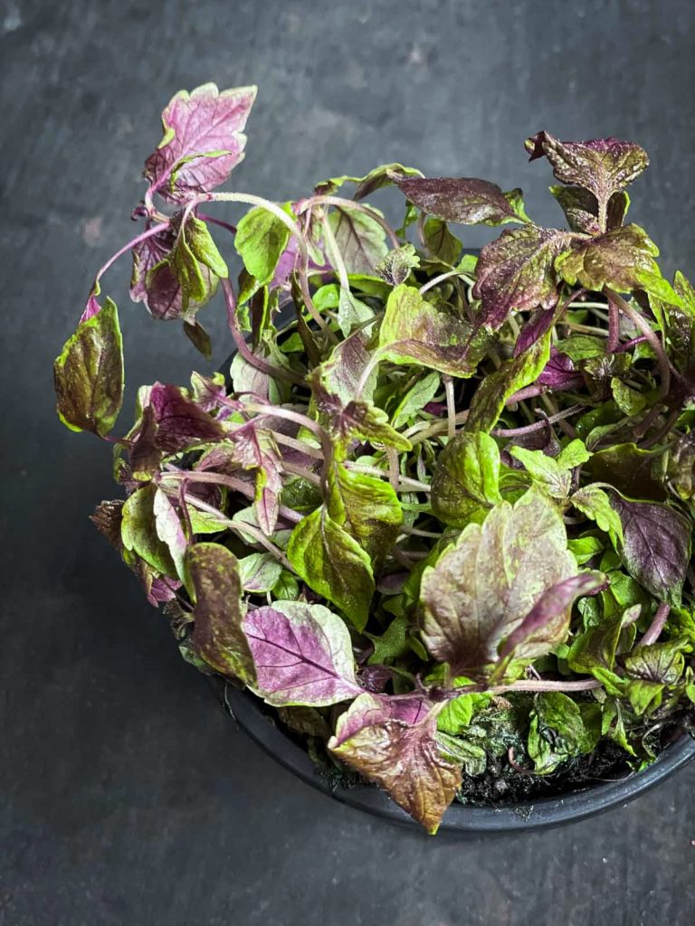 Micro red shiso leaves